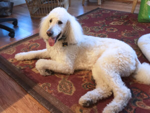 Quincy, a pet therapy dog for JSSA hospice